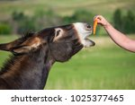 Feeding a wild donkey burro a...