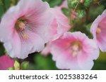 pink flowers close up. | Shutterstock . vector #1025383264