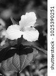 Small photo of White Trillium Black and white vertical photo