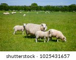 Sheep With Lambs Grazing On The ...