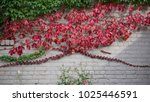 red and green vines grow on...   Shutterstock . vector #1025446591