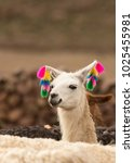 decorated lama llama closeup | Shutterstock . vector #1025455981