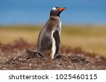 nesting penguin on the meadow.... | Shutterstock . vector #1025460115