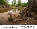 gnarled roots of tree near... | Shutterstock . vector #1025460295