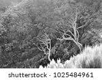 dead white laurel trees after... | Shutterstock . vector #1025484961