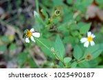 Euglossa on Flower