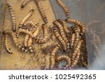 meal worms for feeding pet... | Shutterstock . vector #1025492365