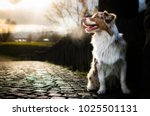 Small photo of Red merle australian shepherd puppy looking away and sitting on the stone road.