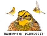 yellow wild birds on a snowy... | Shutterstock . vector #1025509315