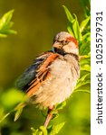 male or female house sparrow or ... | Shutterstock . vector #1025579731