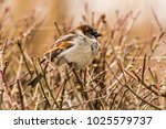 male or female house sparrow or ... | Shutterstock . vector #1025579737