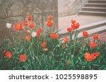 two white tulips were seen... | Shutterstock . vector #1025598895
