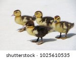 Small photo of A small group of ducklings walks around Miami, Florida. Their mother was just a waddle away.