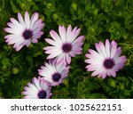 A Small Clump Of African Daisy...