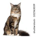 Portrait Of Maine Coon Cat  10...