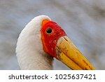 a large yellow billed stork ...   Shutterstock . vector #1025637421
