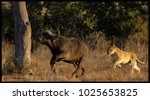 lion hunt kruger national park | Shutterstock . vector #1025653825