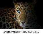 Close Up Of Leopard Isolated On ...