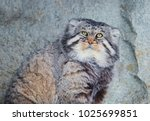 Small photo of Manul (Pallas cat). Manul (Pallas cat) is a wild cat living in Central Asia.