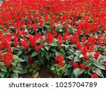 flower  red  flora  beautiful ... | Shutterstock . vector #1025704789