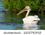 white pelican  pelecanus... | Shutterstock . vector #1025792935