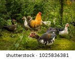 Chickens And Musk Ducks In The...