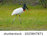 jabiru stork  jabiru mycteria ... | Shutterstock . vector #1025847871