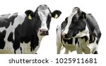 Two Cows Isolated On A White...