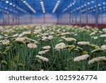 white gerberas grow in modern... | Shutterstock . vector #1025926774