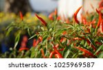 chilli plants close up. eden... | Shutterstock . vector #1025969587