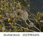 Small photo of Cauixi or Cauxi (Porifera, Demospongiae) Amazonas, Brazil
