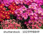 blooming flower in garden.... | Shutterstock . vector #1025998849