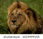 Male Lion With A Nice Mane