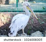 white pelican at the zoo.... | Shutterstock . vector #1026008305