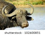������, ������: A big Cape buffalo
