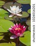 the queen of the pond  ... | Shutterstock . vector #1026016201