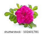 Wild Rose Blooming Flower On A...