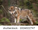 gray wolf  canis lupus | Shutterstock . vector #1026022747