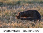 european brown hare  lepus... | Shutterstock . vector #1026042229