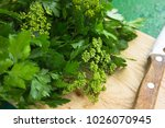 parsley flower. parsley sprigs... | Shutterstock . vector #1026070945