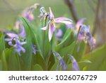first spring flowers | Shutterstock . vector #1026076729