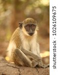 wild nature   cute gambian... | Shutterstock . vector #1026109675