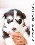 Cute Siberian Husky Puppy Blac...