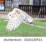 barn owl in flight. tyto alba ... | Shutterstock . vector #1026130921