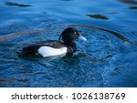 The Tufted Duck Is A Medium...