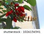 Beautiful Erythrina Fusca...