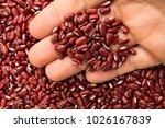 vigna angularis is scientific... | Shutterstock . vector #1026167839