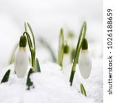 Small photo of Snowdrops (Galanthus) with water drops in a snowy garden in early spring