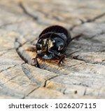 a rhinoceros beetle on a cut of ... | Shutterstock . vector #1026207115