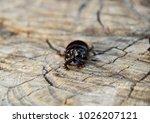 a rhinoceros beetle on a cut of ... | Shutterstock . vector #1026207121